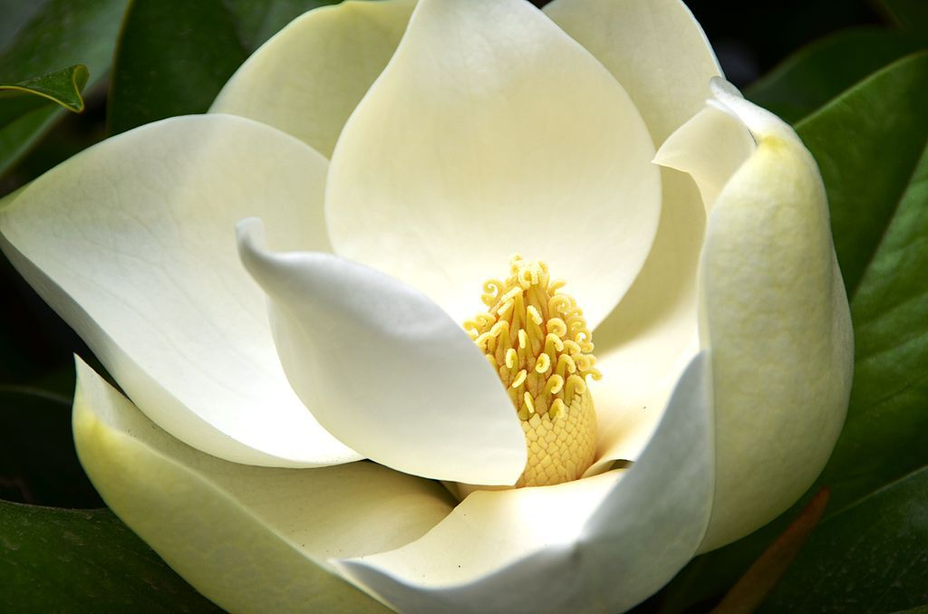 In Magnolias The Flower Parts Are Arranged Spirally Not In Whorls Magnolia Grandiflora Magnolia Flower Magnolia Trees