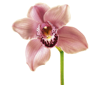 Wedding Anniversary Gift Ideas Orchids Orchid Flower Flowers