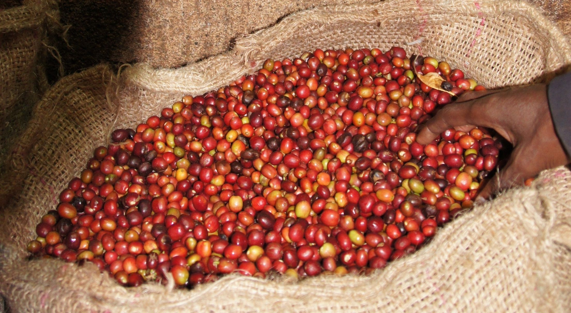 33+ Where is coffee grown in ethiopia inspirations