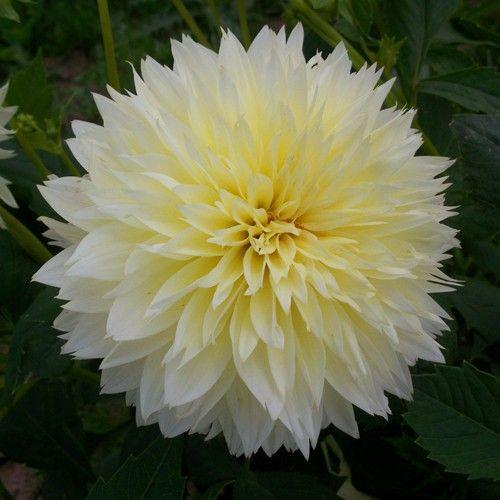Dinnerplate Dahlia \u0027Canary Fubuki\u0027. 3-4\u0027 tall. Blooms July- & Dinnerplate Dahlia \u0027Canary Fubuki\u0027. 3-4\u0027 tall. Blooms July-October ...