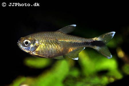 Detailed Aquarium Fish Profiles For Many Of The Tropical Fish We Keep Today Hasemania Nana The Silvertip Tetra Community Fish Tank Aquarium Fish Tetra