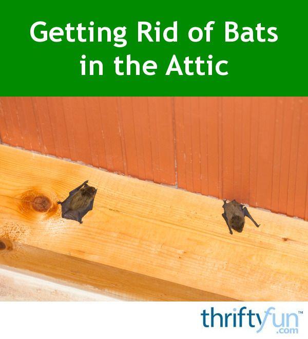 Getting Rid Of Bats In The Attic Getting Rid Of Bats Bats In Attic Attic