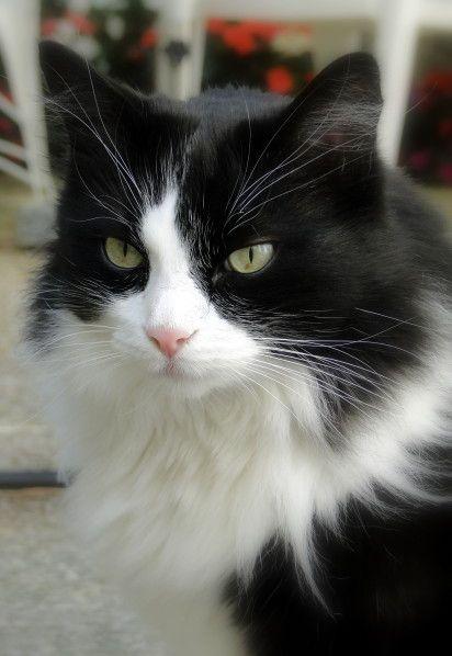 superbe chat noir et blanc miaou pinterest chats noirs superbe et chats. Black Bedroom Furniture Sets. Home Design Ideas
