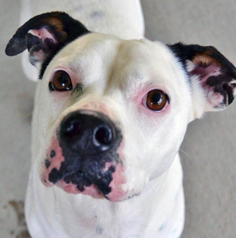 Meet Pinky A Petfinder Adoptable Boxer Dog Warrenton Or