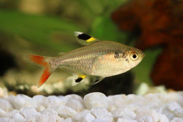 Golden Pristella Tetra Pristella Maxillaris Xray Tetra Aquarium Fish Tetra Fish Aquarium Fish Fish Pet