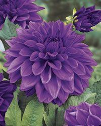 Dahlia ~ Lilac Time