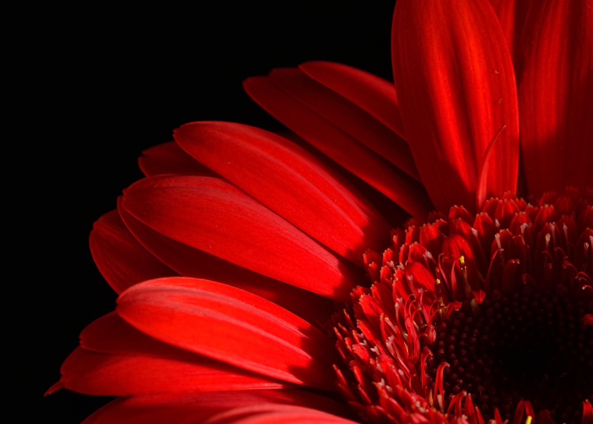 Gerbera gerbera plants flowers