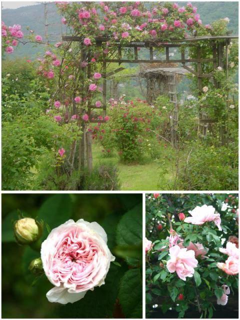 traliccio con rose