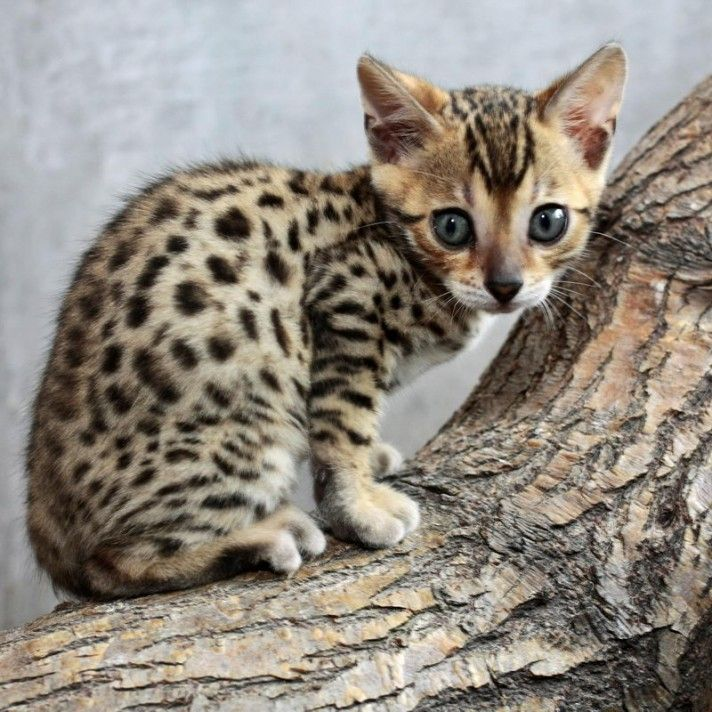 Bengal Cats Prices (With images) Bengal cat price