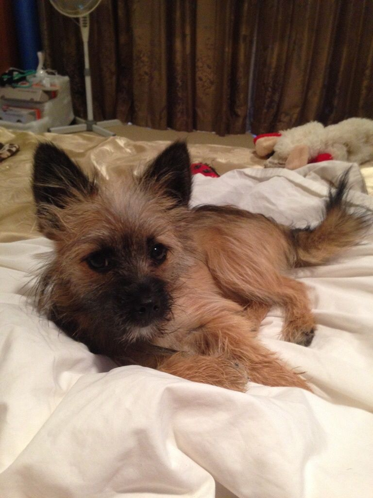 Bella Pomeranian Maltese X Fox Terrier Pawshake Med Bilder