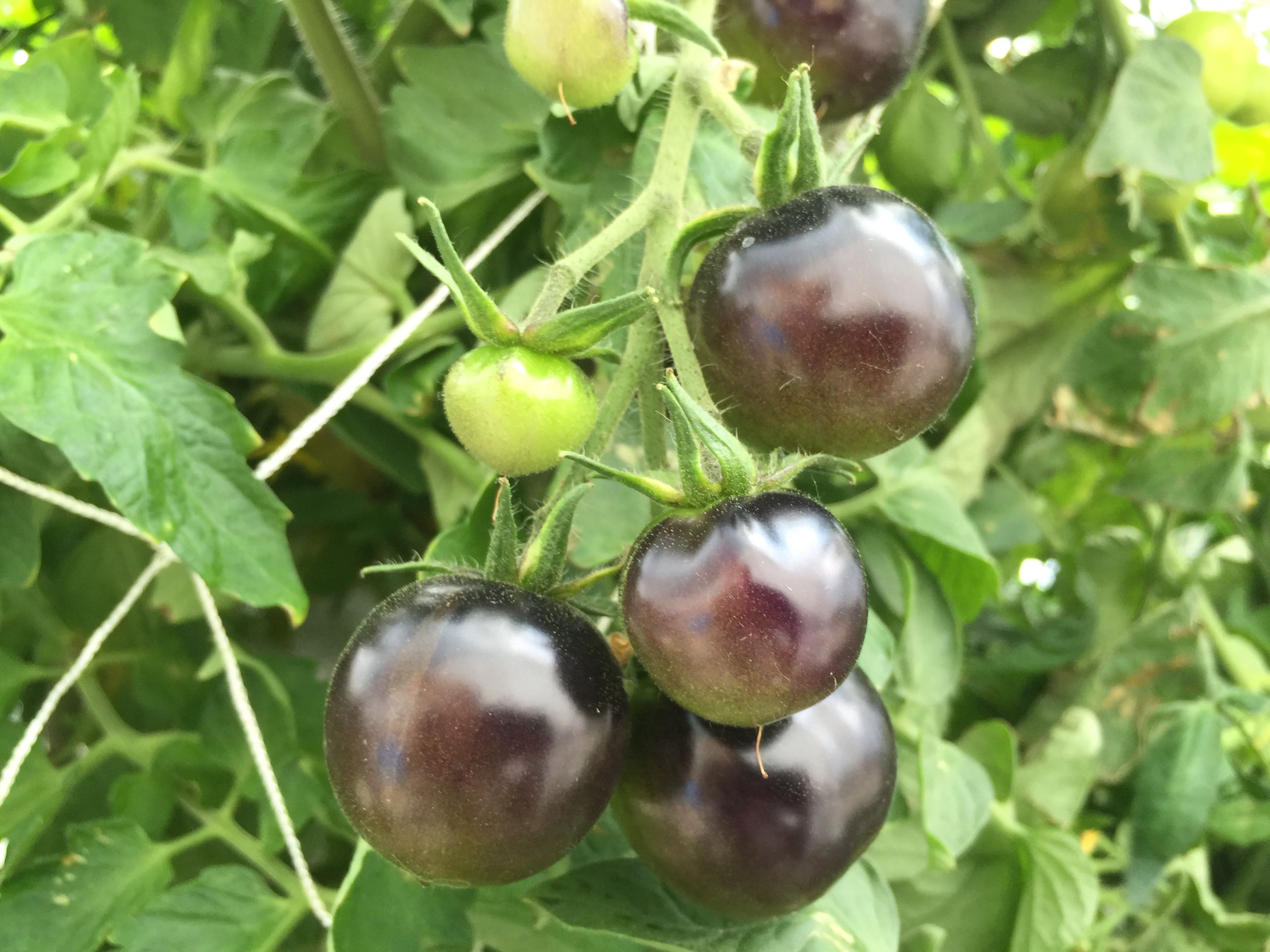 Indigo Rose Tomatoes from Art Garden Growing Systems Aeroponics
