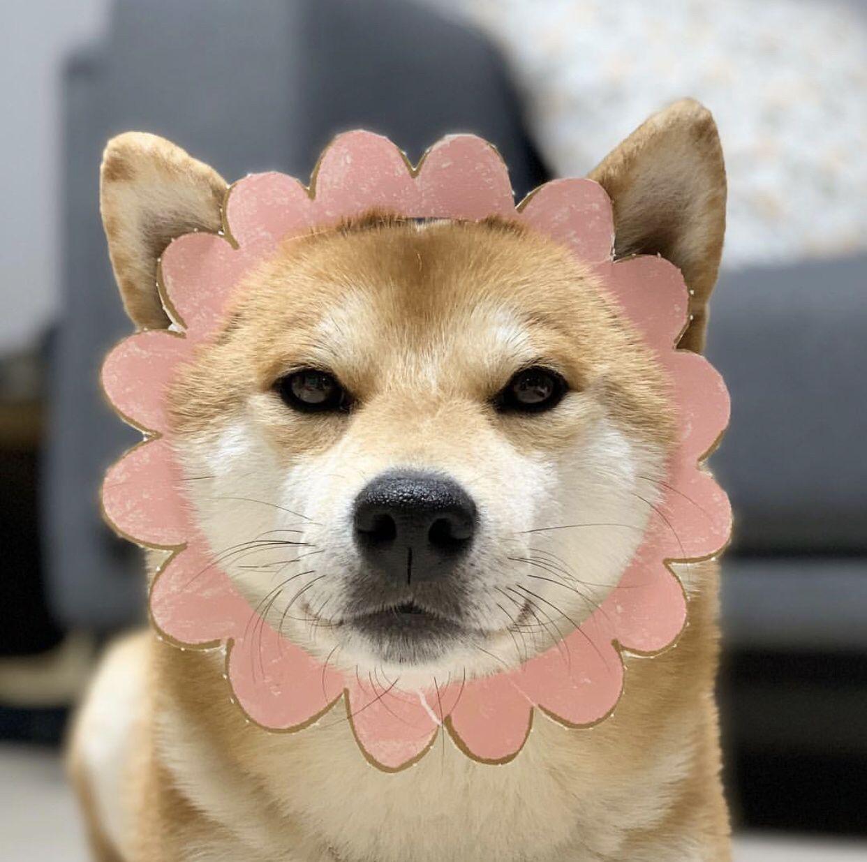 Shiba Shibainu Shibadog Funny Cute Adorable Cuteanimals