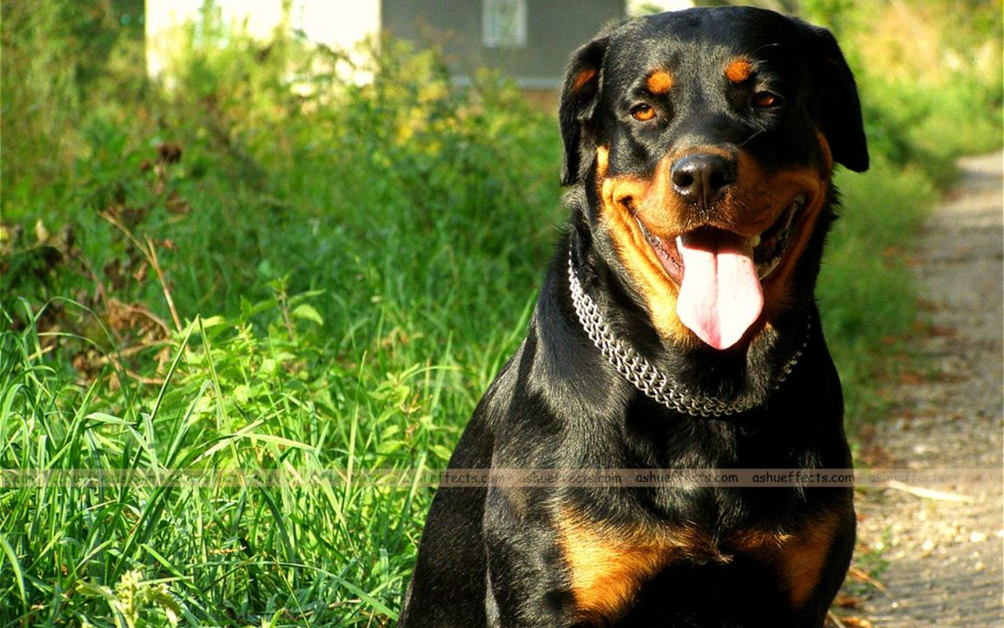 Dog Wallpapers With Images Dog Wallpaper Rottweiler Dogs