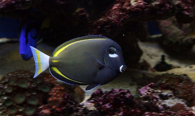 Acanthurus Nigricans White Cheek Tang Life Under The Sea Fish Pet Animals