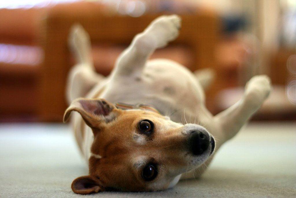 16 Quiet Dog Breeds That Won't Bark All Night Long Quiet