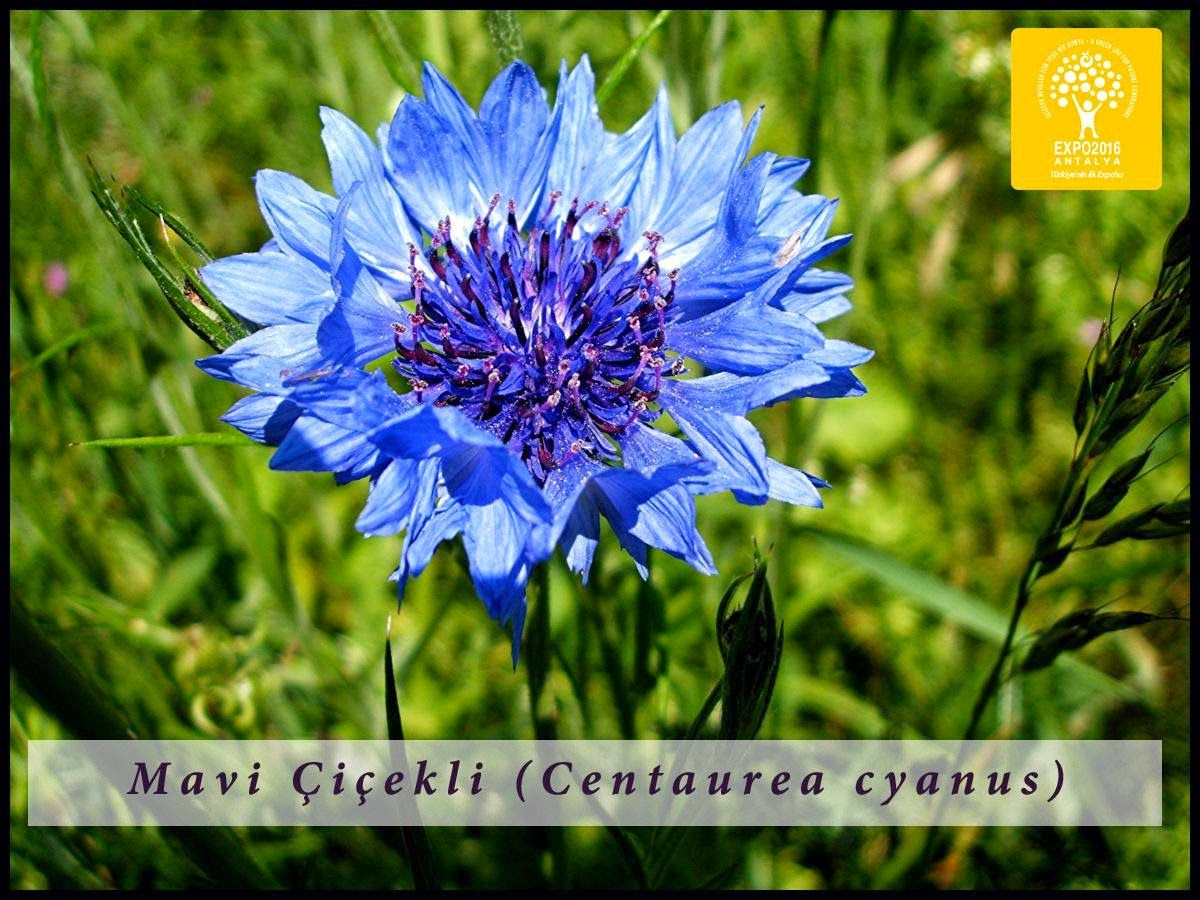 Expo 2016 Antalya BLOG: Flower of the day: Centaurea cyanus
