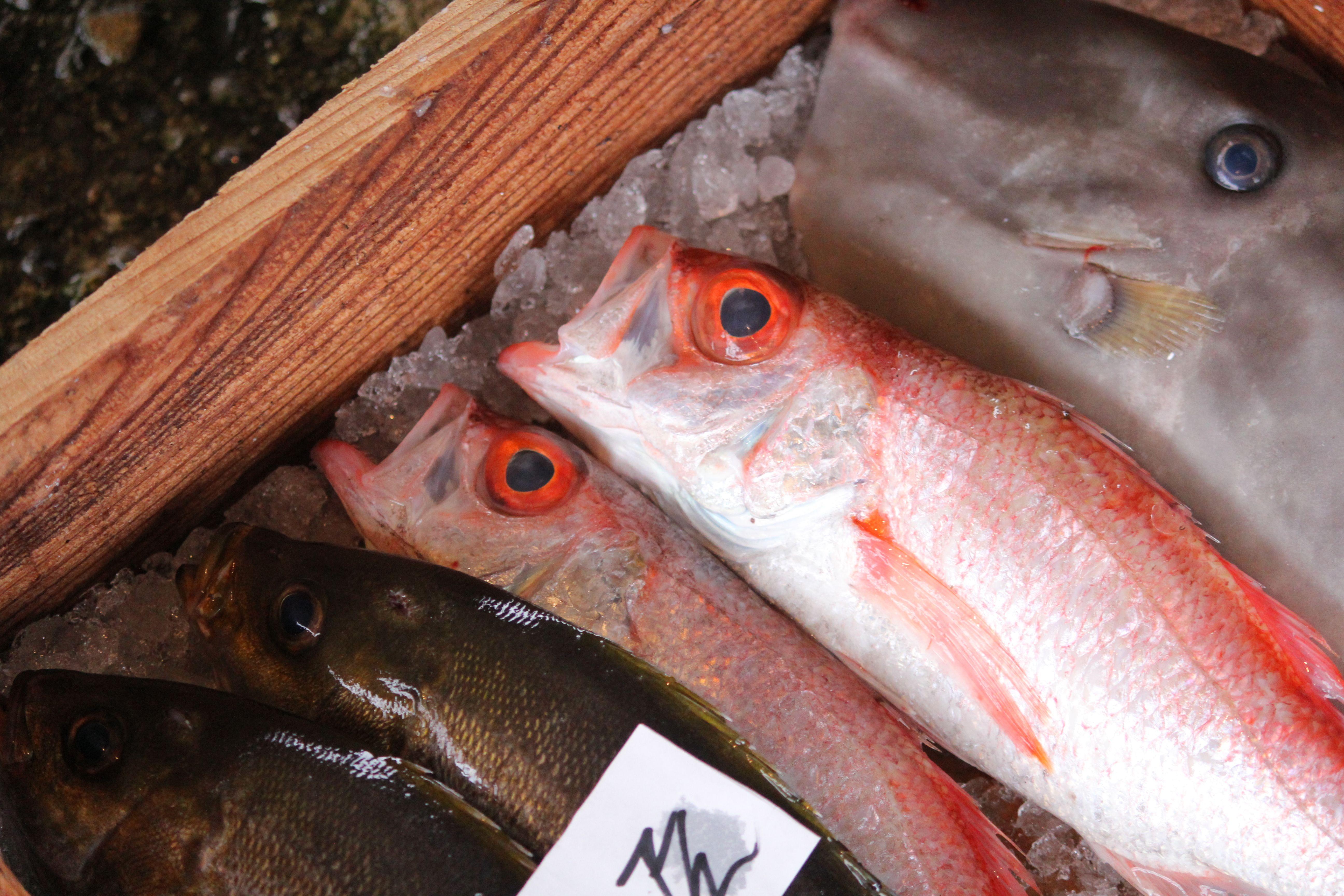 阿久根の魚