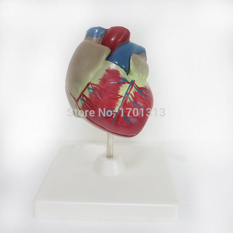 11 Pvc High Quality Cardiac Anatomy Model Medical Teaching Tool Art