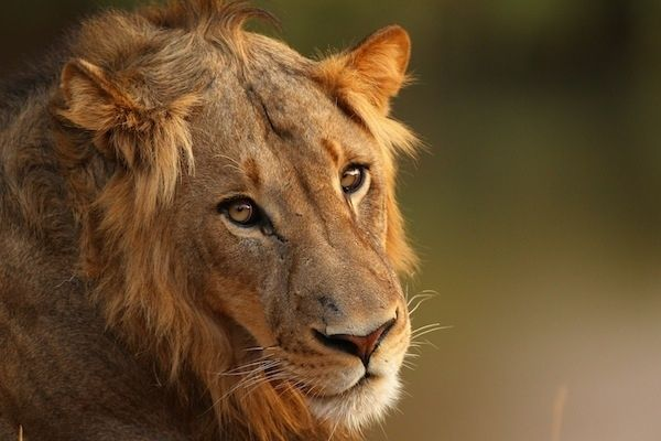 Three lions saved* a girl from kidnappers  | Animal who