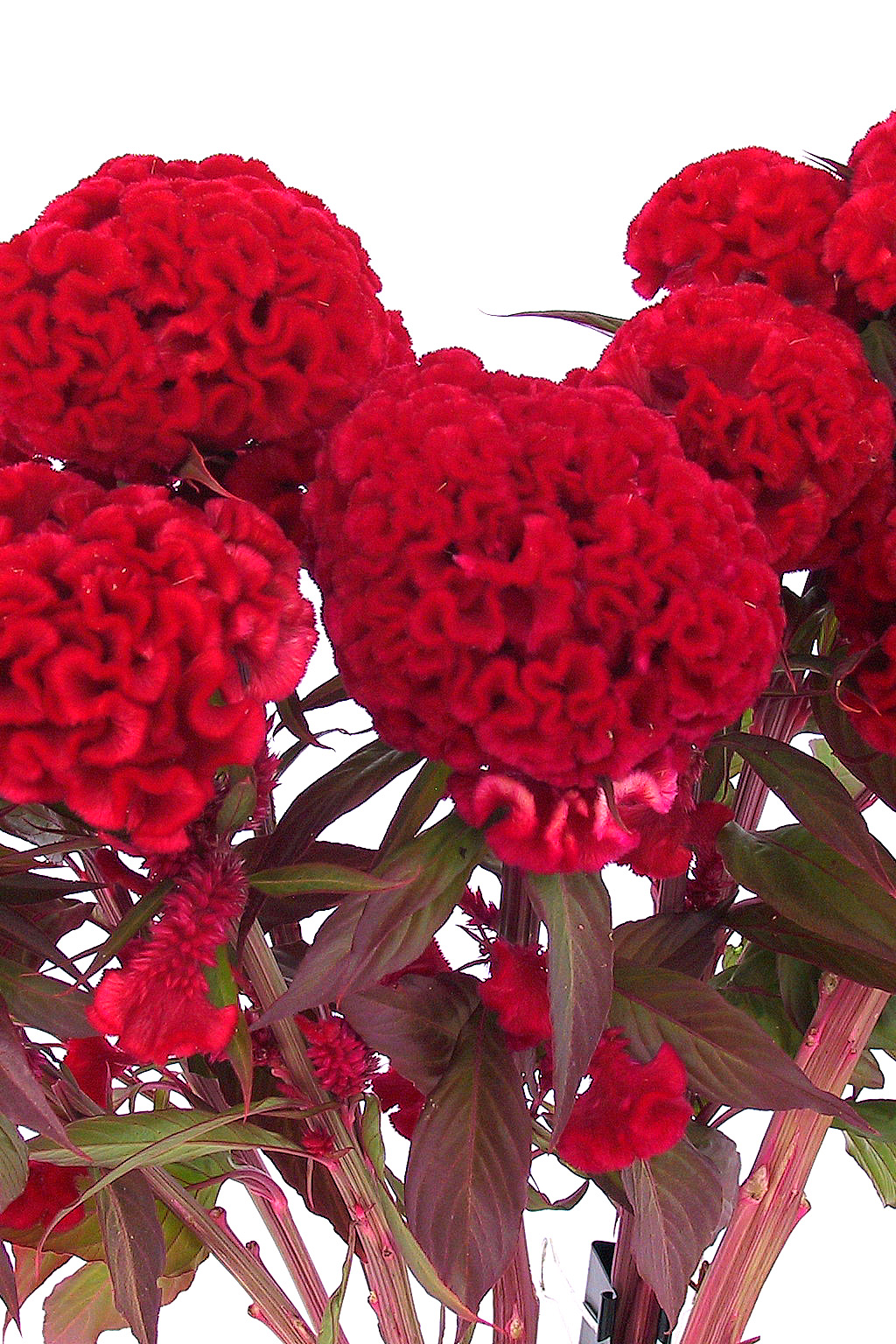 Chief Red Flame Celosia Seeds Flower Farm Flowers Flowering Kale