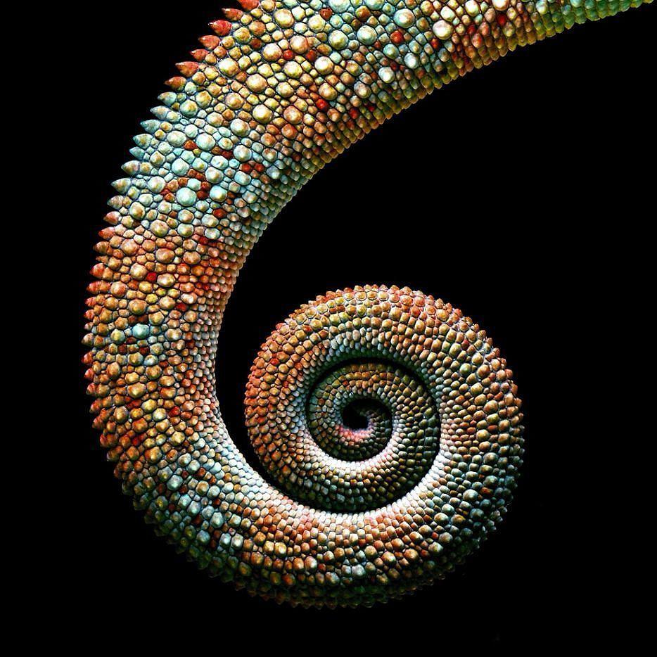 A Chameleon Tail Up Close. (via Spicedpumpkins On Reddit