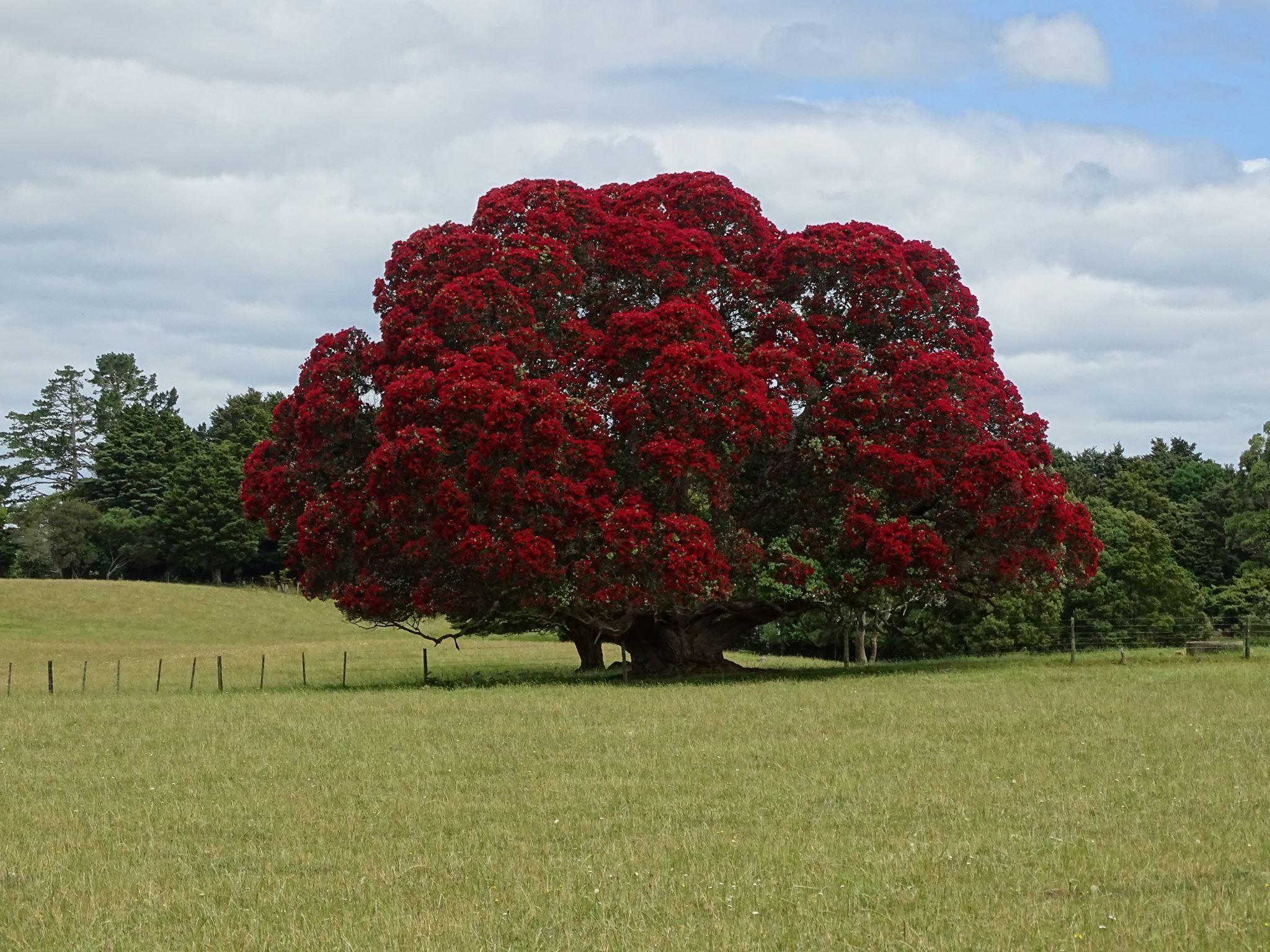 Pohutukawa The New Zealand Xmas Tree Metrosideros Excelsa Always