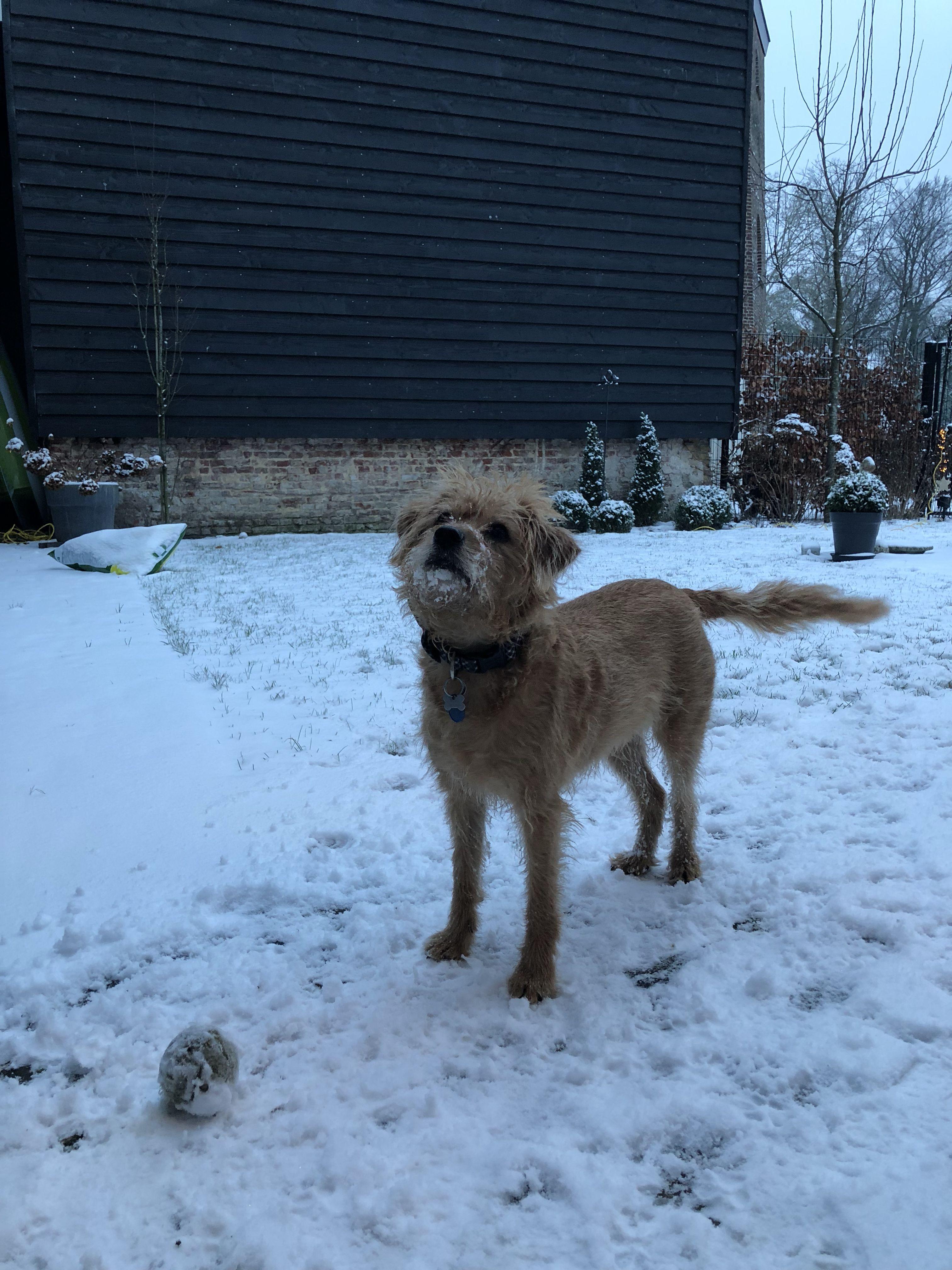 Belle In De Sneeuw Gooi Je De Bal Hollandse Smoushoud 2019 Honden Holland Sneeuw