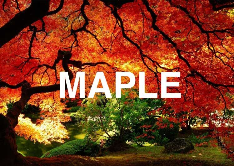 Maple Symbolism Information And Planting Instructions