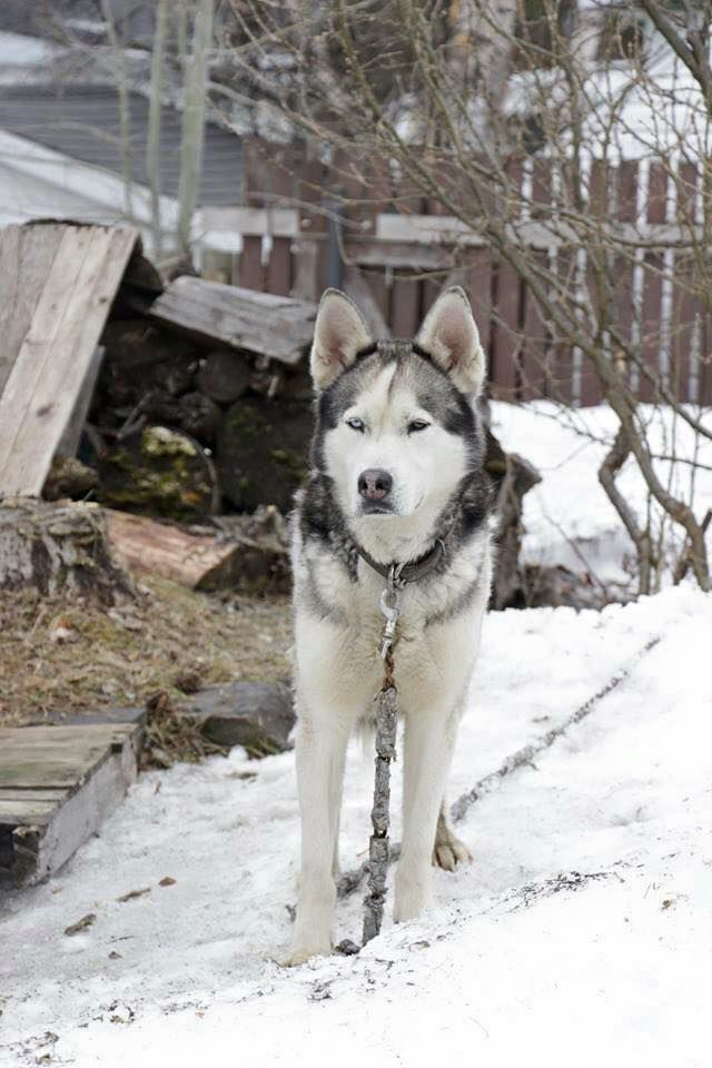 My Sweet Siberian Husky Cute Puppy Pictures Cute Dog Pictures Cute Animal Pictures