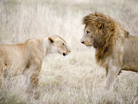 Lion and a Lioness Standing Face to Face in a Forest, Ngorongoro Crater, Ngorongoro, Tanzania Photographic Print at AllPosters.com