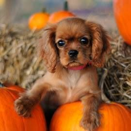 Baby Ruby Cavalier King Charles Spaniel Puppy Dogs Cavalier