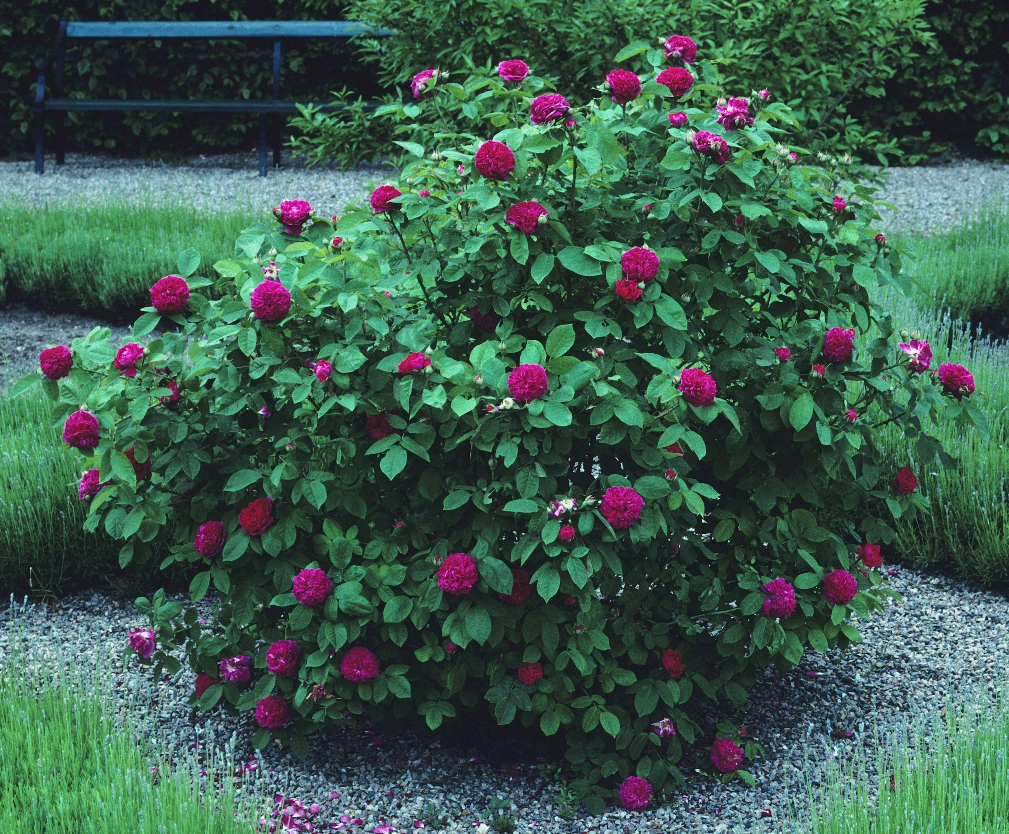 ros de rescht rosor zon 5 pinterest prunus gardens. Black Bedroom Furniture Sets. Home Design Ideas