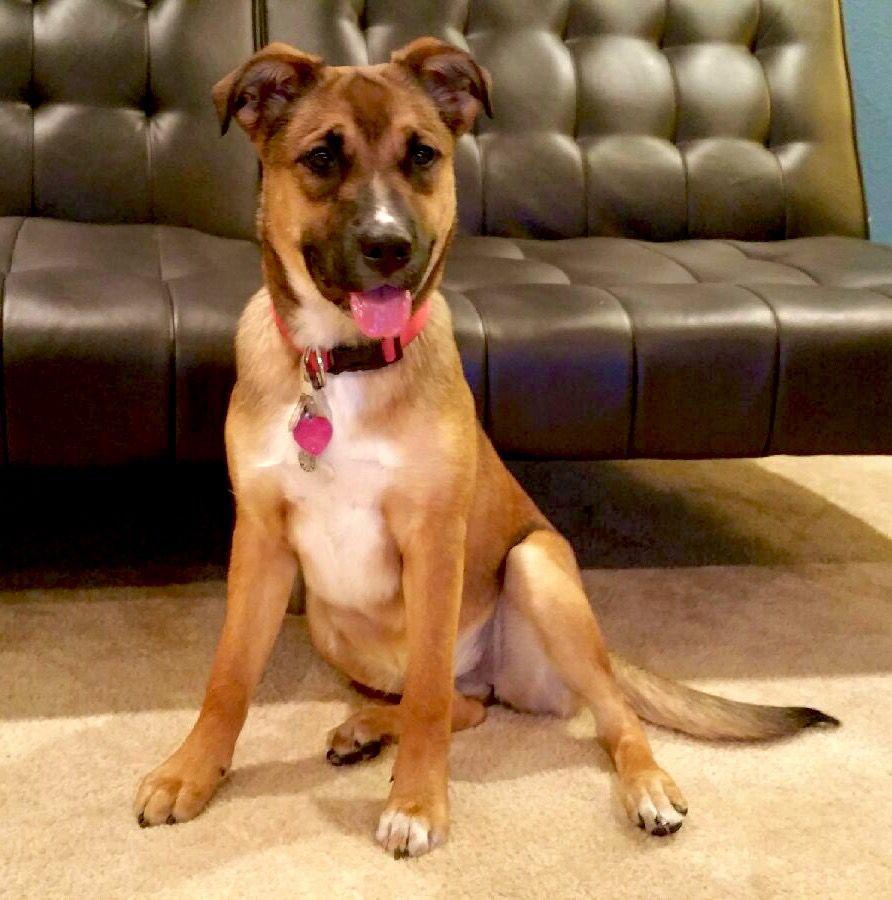 Kahya our 7 mo old Rhodesian Ridgeback/Boxer puppy