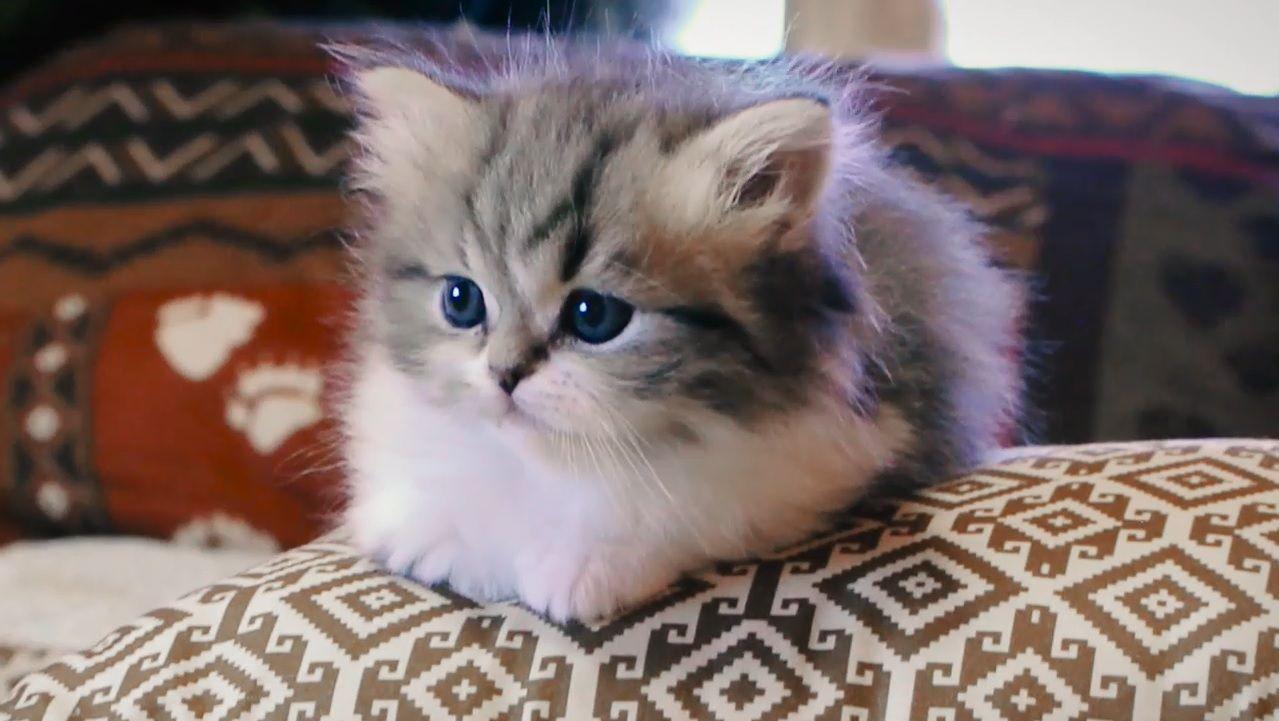 Milo 5 Week Old Tiny Little Munchkin Kitten Http Ift Tt 2oqoerk Munchkin Kitten Kitten Pictures Kittens