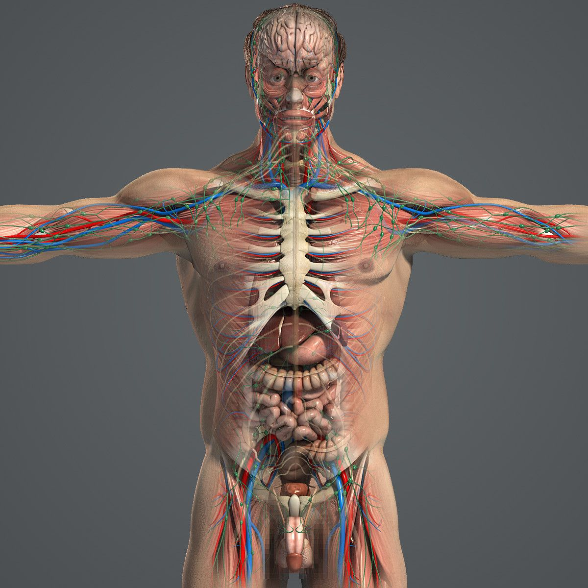Complete Male Anatomy 3d Model Premium 3d Models Pinterest Anatomy