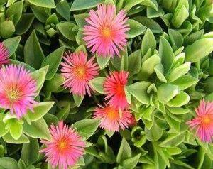 Hearts And Flowers Aptenia Cordifolia Az Living Plants Desert Plants Arizona Gardening