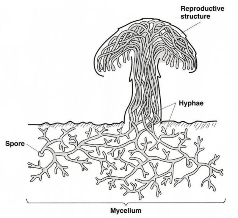 hyphae diagram