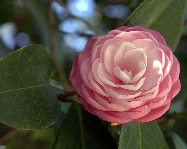 Camelia flower! I love this flower for our wedding! Thank you @Sara Eriksson Chapman