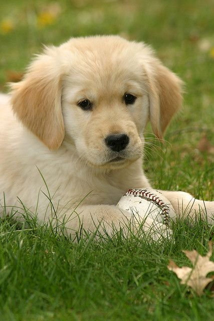 Golden Retriever Puppy W A Baseball So Fitting This One Looks