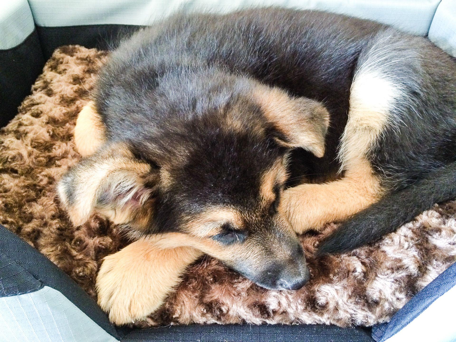 GSD Puppy-Pocky