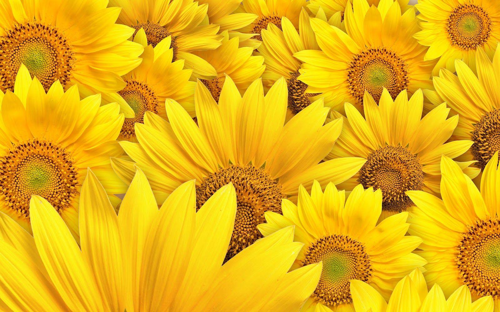 Sunflower Computer Wallpaper Bing images