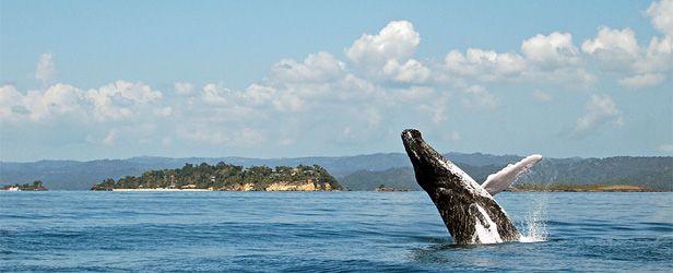 Ballenas Jorobadas Samaná R D Whale Samana Humpback Whale