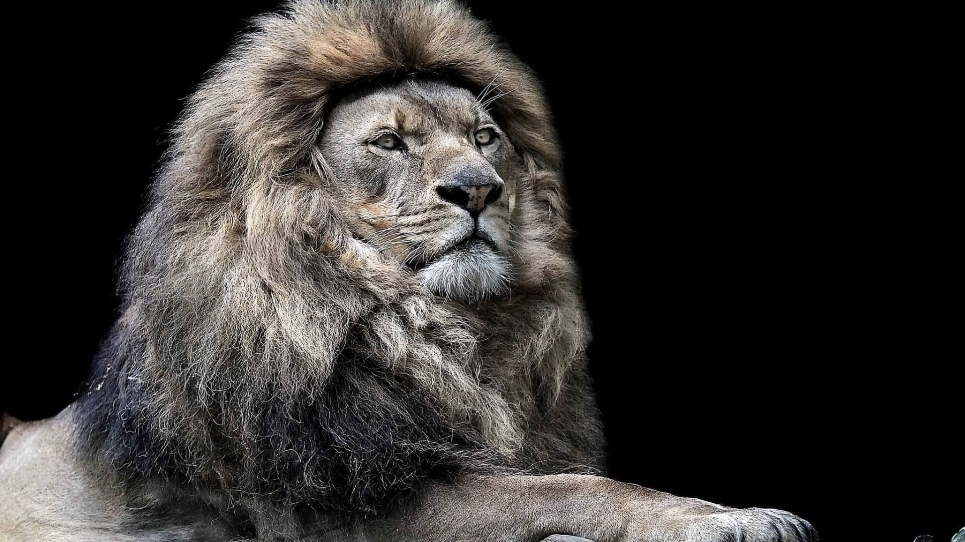 Angry Lion Face Wallpaper 708605 Lion Wallpaper Beautiful Lion
