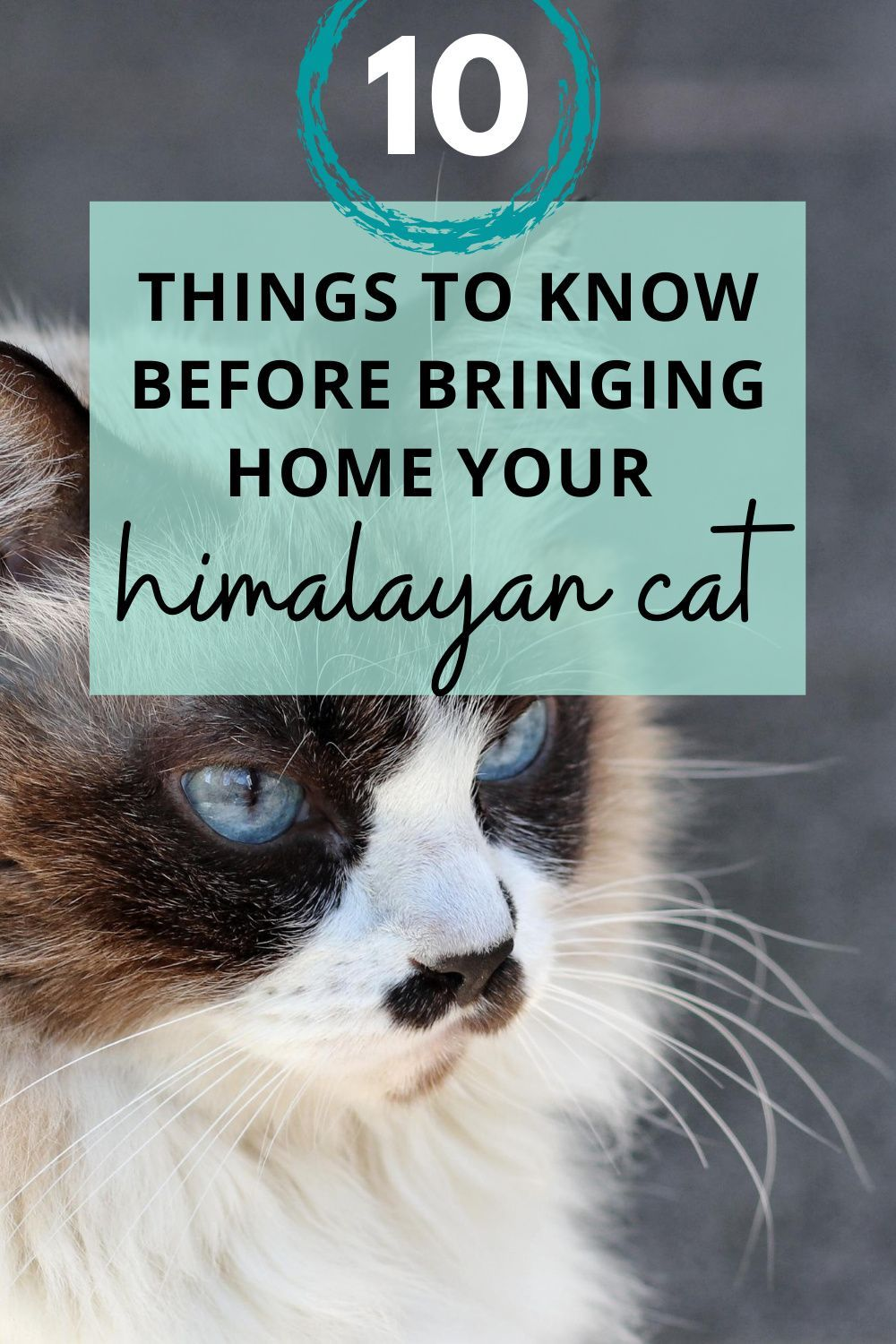10 Things To Know Before Bringing Home Your New Himalayan Cat Kritter Kommunity Himalayan Cat Cats Cat Advice