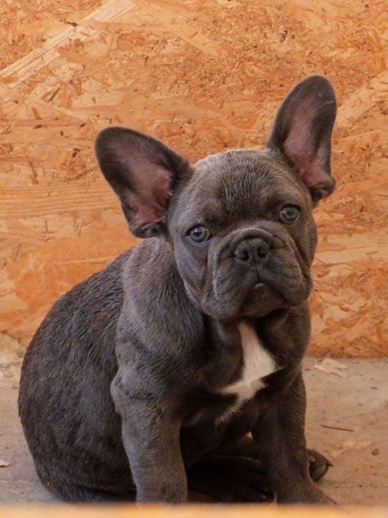 french bulldog | french bulldog, french bulldog for sale