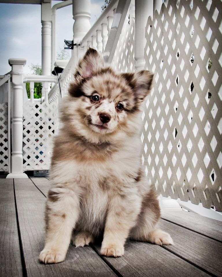 Aussiepom i NEED this dog! Omg it is a overload of