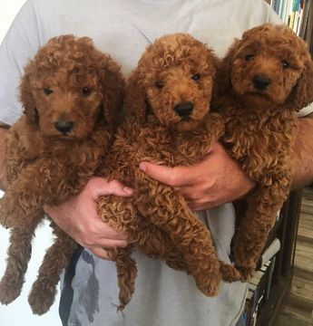 Goldendoodle Puppy For Sale In Phelan Ca Adn 32456 On