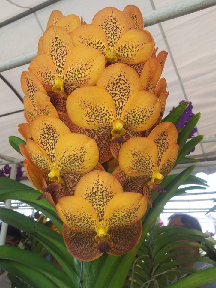 Orchids vanda recetas para cocinar sementes de - Flores para cocinar ...