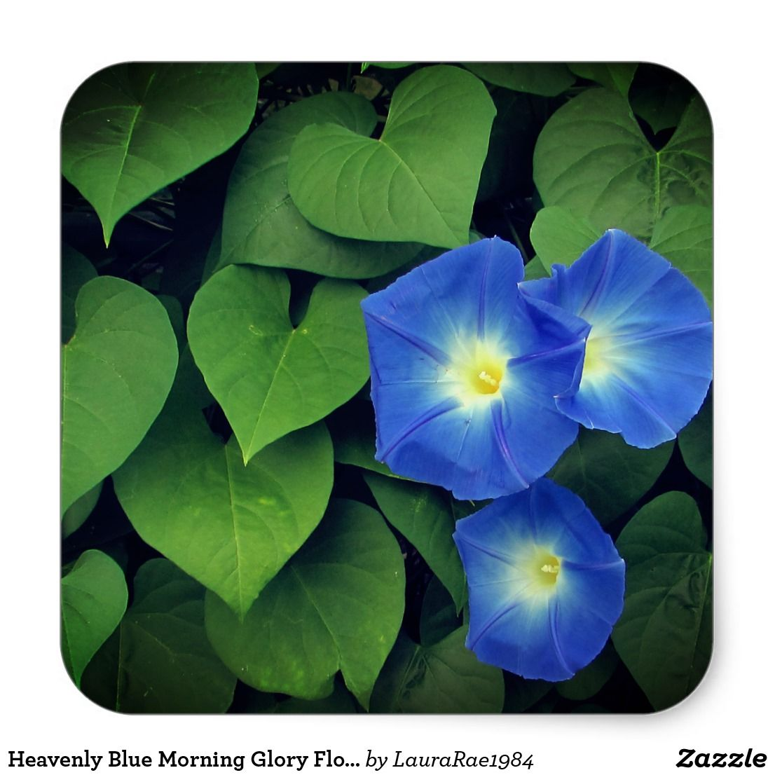 Heavenly Blue Morning Glory Flowers Square Sticker Zazzle Com In 2020 Morning Glory Flowers Blue Morning Glory Morning Glory Plant