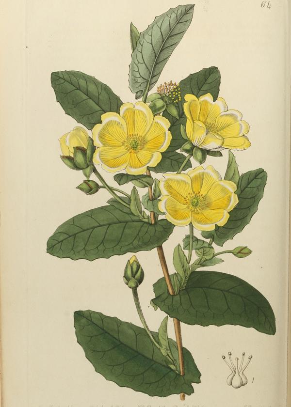 Vintage Flower Illustration Hibbertia Digital And Printable Botanical Art In 2020 Plant Illustration Flower Illustration Plant Drawing